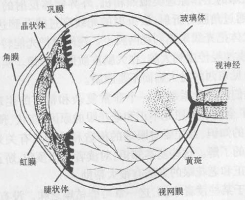 眼球结构示意图