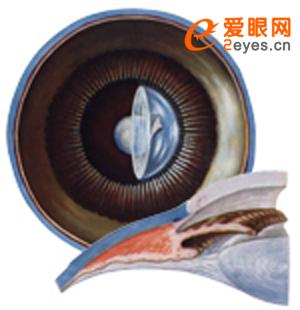 眼球壁的构造