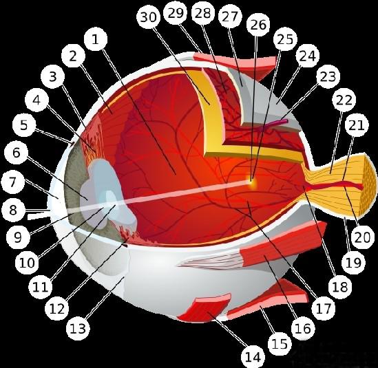 人类眼球结构示意图